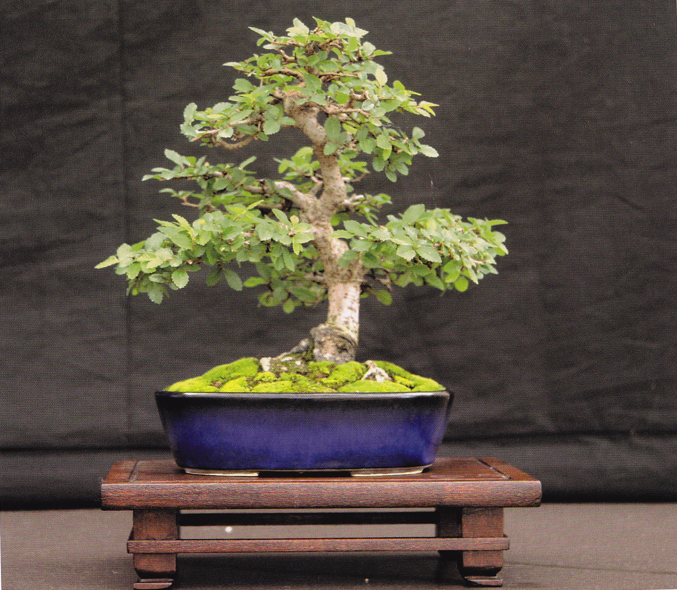 Posted in schede bonsai 30 Marzo 2014. Olmo giapponese  dedb775a5c14