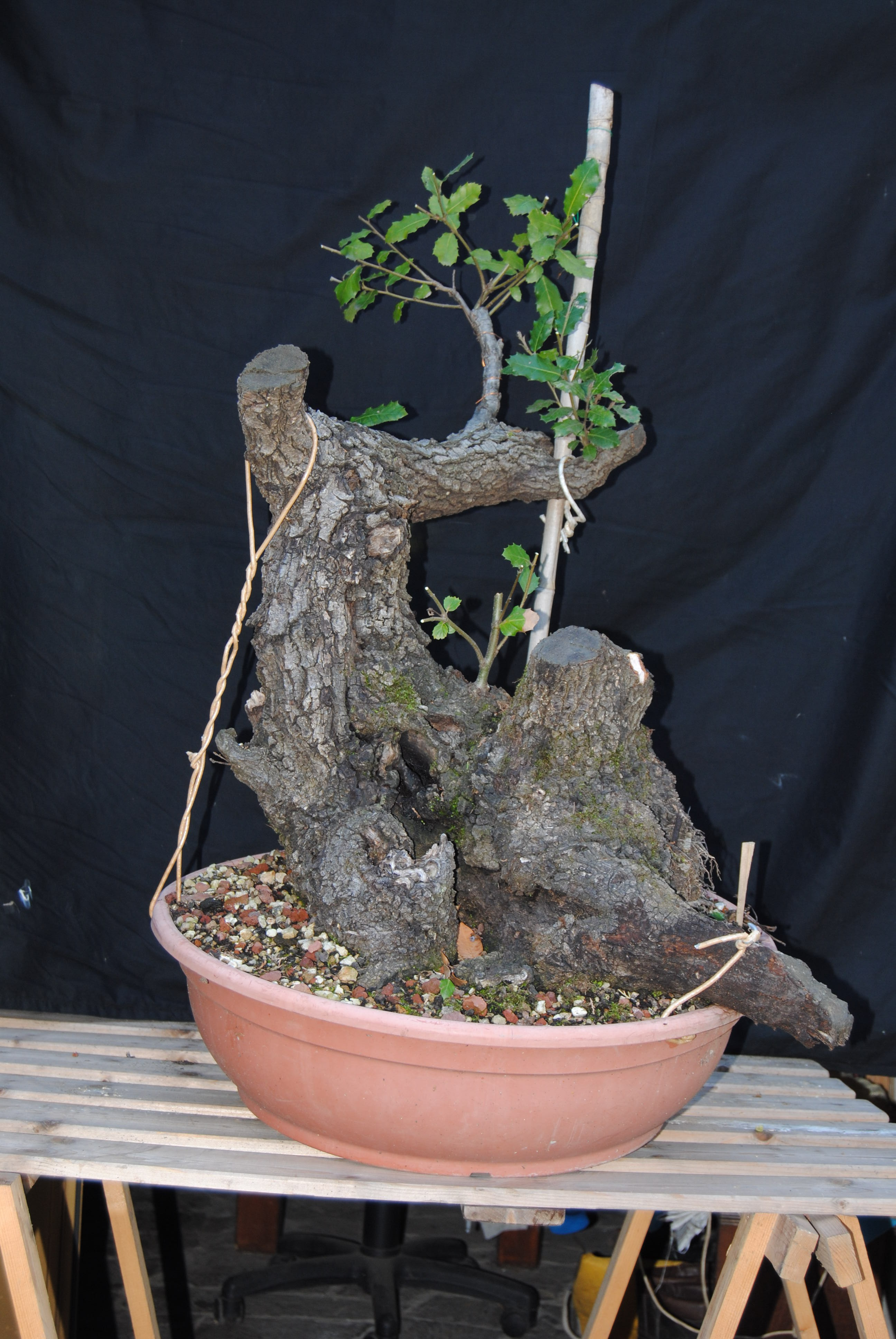 L 39 arte del bonsai for Bonsai vasi